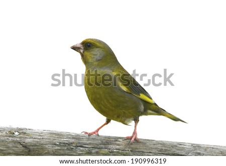 Greenfinch perched on wooden bar, isolated on white - stock photo