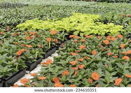 Greenhouse abundance in spring: Rows of potted flowering and foliage plants arranged for display before transport to local gardens and grounds - stock photo