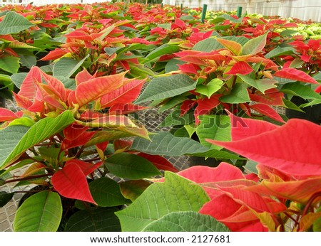 Greenhouse full of poinsettias ready for the holidays