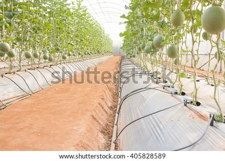 Greenhouse plantation of melon farm,Oganic Experiment Station plant melon in Thailand. - stock photo