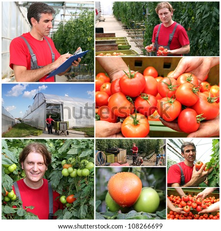 Greenhouse Produce. Farmer at work. Collage of photographs showing tomato growing in commercial greenhouse. - stock photo