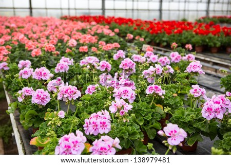 Greenhouse with colorful blooming geranium flowers