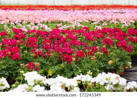 Greenhouse with colorful blooming geranium flowers - stock photo