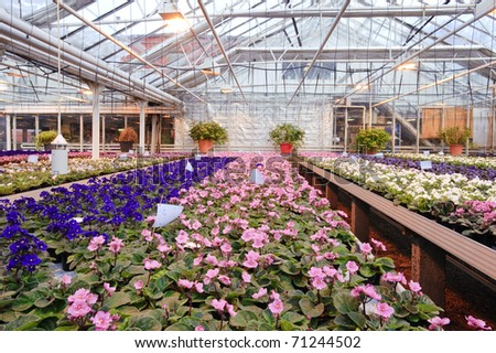 Greenhouse with Saint Paulia plants - stock photo