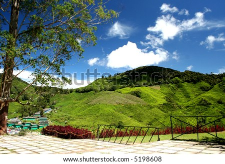 greenish tea plantation in cameron highland - stock photo