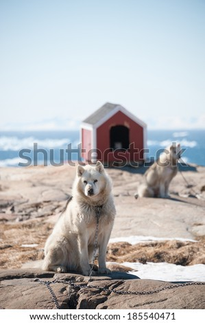 Greenland dogs in Ilulissat, Greenland - stock photo