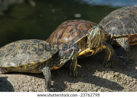 greet turtles in the sun - stock photo