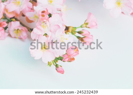 Greeting card. Branch of blossom pink plum tree over blue background y with copy space, pastel soft colors. - stock photo