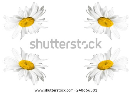 Greeting card, wallpaper, texture, backgrounds with space for text. Beautiful daisy, camomiles flowers on white - stock photo