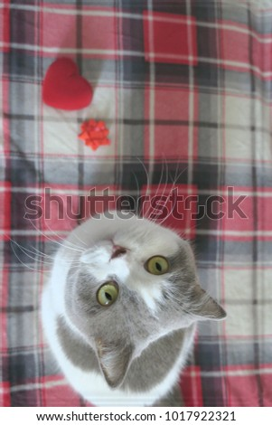 Greeting card british shorthair cat that stock photo royalty free greeting card with a british short hair cat that holds a red heart valentines m4hsunfo