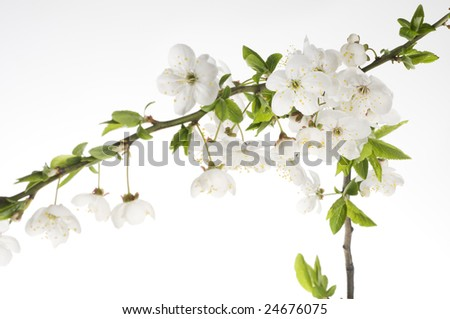 Greeting holiday card with beautiful spring white flower of cherry tree