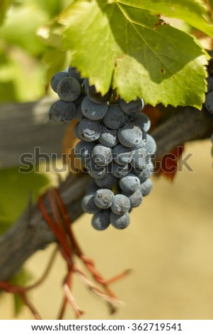 Grenache grapes in Priorat - stock photo