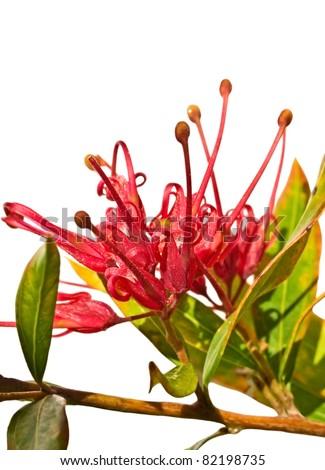 grevillea splendour Australian flower isolated with foliage - stock photo