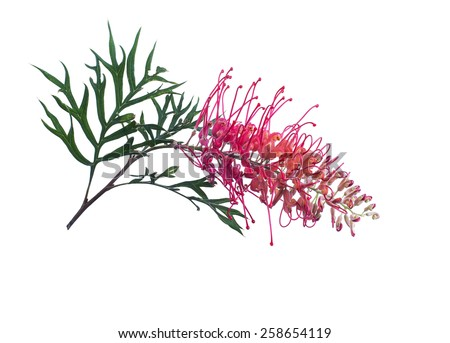 Grevillia flower isolated on white - stock photo
