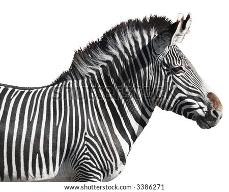 Grevy's zebra close-up isolated over white background. Clipping path included. - stock photo