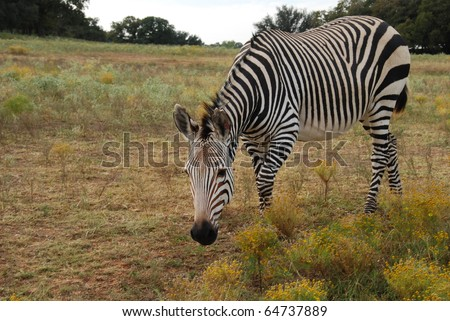 Grevy's Zebra (Equus grevyi) lives in semi arid and scrub grasslands and is an endagered species has very narrow, close stipes on mane.  Stripes extend down legs but not around stomach - stock photo
