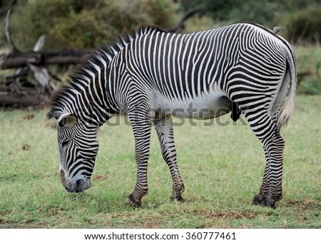 Grevy's Zebra Grazing Samburu National Park Kenya - stock photo