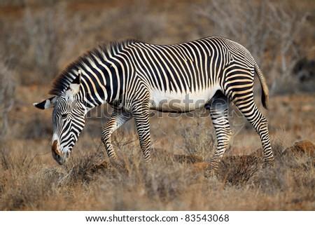 Grevy's Zebra, samburu national park, Kenya - stock photo