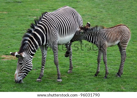 Grevy's zebra with young - stock photo