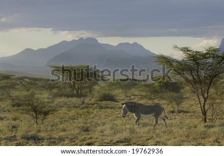 grevy zebra, - stock photo