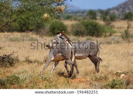Grevy Zebra biting his rivals during the mating season in Samburu National Reserve, Kenya - stock photo
