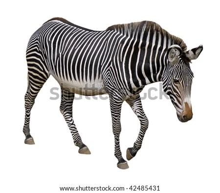 Grevy zebra (Equus grevyi) walking isolated on the white background - stock photo
