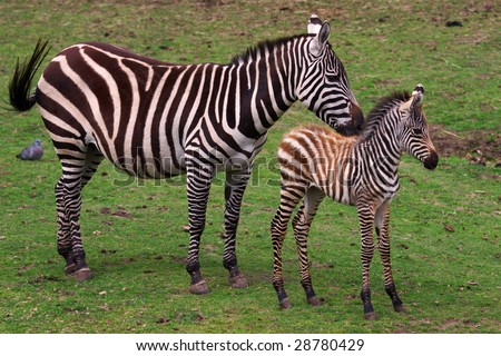 Grevy Zebra with foal on a green field - stock photo