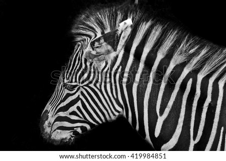 Grevys Zebra Endangered Animal