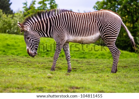 Grevys zebra in the nature - stock photo
