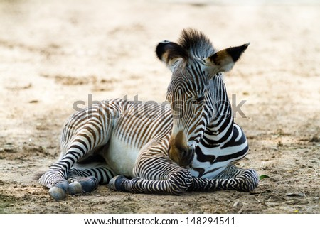 Grevys zebras is most endangered of species of zebra. - stock photo