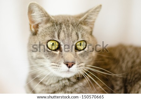 grey adult cat with gold eyes looking to the left