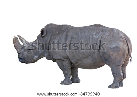 Grey african rhino isolated on white background