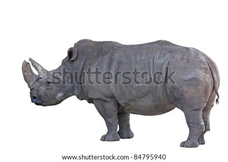 Grey african rhino isolated on white background - stock photo