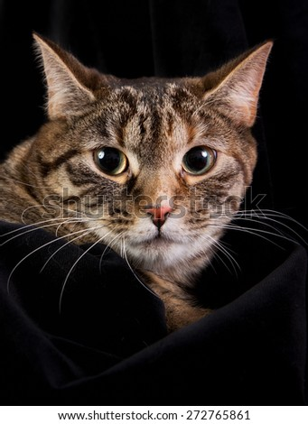 Grey and brown domestic cat photographed indoors in studio on black background.