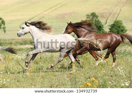 Grey and brown horses running in flowers on pasturage