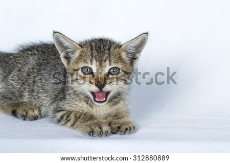 Grey and brown striped kitten. Small predator. Small grey kitten.