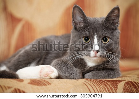 Grey and white kitten on a brown couch - stock photo