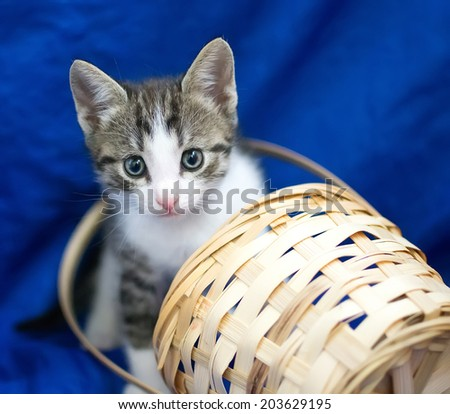 Grey and white kitten peeking out of a basket on a blue background - stock photo