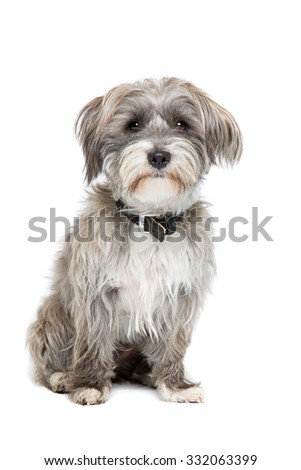 grey and white mixed breed dog in front of a white background - stock photo