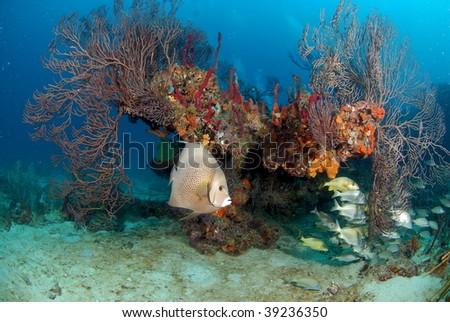 Grey Angelfish reef scene - stock photo