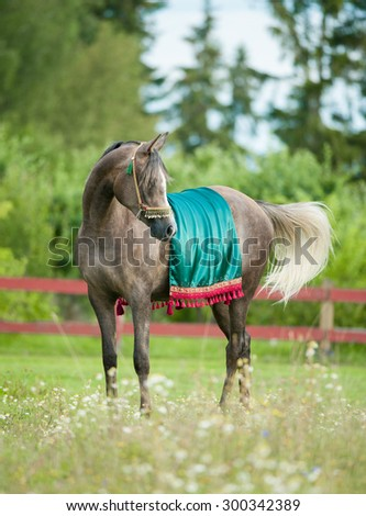 Grey arabian horse in national arabic harness - stock photo