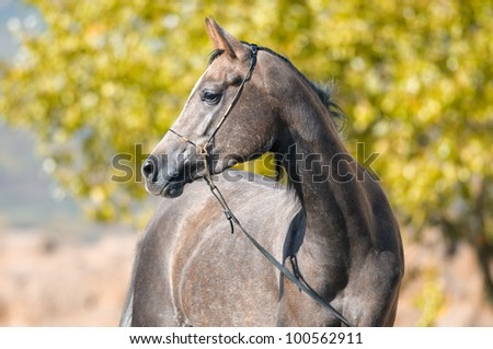 Grey Arabian horse mare portrait in summer time - stock photo