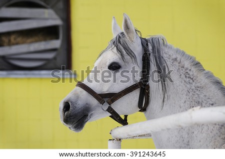 Grey Arabian horse on yellow background portrait outdoors - stock photo