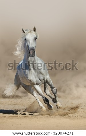 Grey arabian horse run in dust - stock photo