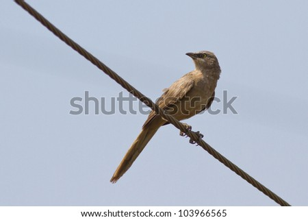 Grey Babbler resting on an electric wire - stock photo