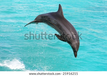 Grey bottle nose dolphin leaping out of the water - stock photo