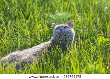 Grey british cat in the green grass - stock photo