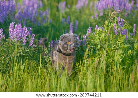 Grey british cat in the green grass