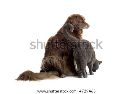 Grey British Short-haired cat and a brown dog - stock photo
