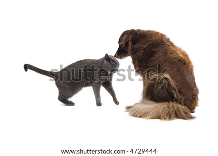 Grey British Short-haired cat and a dog sniffing - stock photo